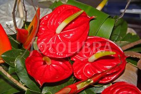 "Anthurium. Weird plant. It's also called ""Lace Leaf."" Alliteration! Is that a coincidence? I think not!"